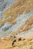 Άγριες αίγες στα βουνά Στοκ Εικόνα