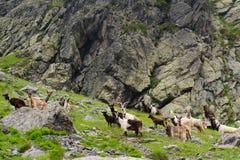 Άγριες αίγες στα βουνά Στοκ φωτογραφία με δικαίωμα ελεύθερης χρήσης