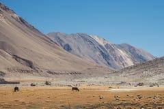 Άγριες αγελάδες που τρώνε τις χλόες σε έναν τομέα με τα βουνά και το υπόβαθρο μπλε ουρανού σε Ladakh Στοκ Φωτογραφία