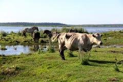Άγριες αγελάδες που βόσκουν και που τρώνε τη χλόη στο λιβάδι από τη λίμνη Engure Στοκ Φωτογραφίες