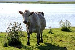 Άγριες αγελάδες που βόσκουν και που τρώνε τη χλόη στο λιβάδι από τη λίμνη Engure Στοκ εικόνες με δικαίωμα ελεύθερης χρήσης