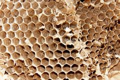 Άγριες δασικές μέλισσες κυττάρων Στοκ Εικόνες