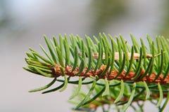 Άγριες βελόνες πεύκων με τον πράσινο σπόρο τέφρας Στοκ φωτογραφίες με δικαίωμα ελεύθερης χρήσης