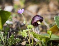 Άγριες εγκαταστάσεις simorrhinum Arisarum στη φύση Στοκ Φωτογραφίες