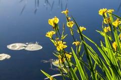 Άγριες κίτρινες ίριδες Στοκ φωτογραφία με δικαίωμα ελεύθερης χρήσης