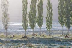 Άγριες καμήλες στην κοιλάδα βουνών Στοκ Εικόνες