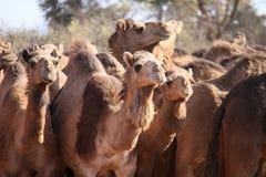 Άγριες καμήλες Στοκ Εικόνες
