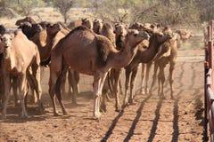 Άγριες καμήλες Στοκ εικόνα με δικαίωμα ελεύθερης χρήσης