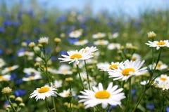 Άγριες μαργαρίτες, πολλά θολωμένα λουλούδια στον τομέα, camomile Στοκ Εικόνα