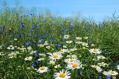 Άγριες μαργαρίτες, πολλά θολωμένα λουλούδια στον τομέα, camomile Στοκ Εικόνες