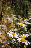 Άγριες μαργαρίτες, πολλά θολωμένα λουλούδια στον τομέα, camomile στοκ φωτογραφίες