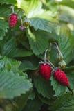 Άγριες φράουλες που αυξάνονται στο έδαφος Στοκ Φωτογραφία