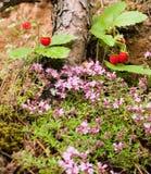 Νόστιμες άγριες φράουλες στοκ εικόνες