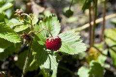 Άγριες φρέσκες φράουλες eco στον κήπο Στοκ Εικόνα