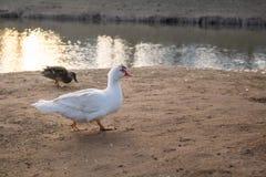Άγριες χήνα και πάπια από τον ποταμό στοκ φωτογραφίες με δικαίωμα ελεύθερης χρήσης