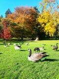Άγριες χήνες στην πράσινη χλόη Στοκ φωτογραφίες με δικαίωμα ελεύθερης χρήσης