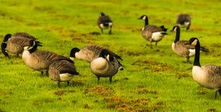 Άγριες χήνες στο λιβάδι που η χλόη, πράσινη juicy χλόη Στοκ φωτογραφία με δικαίωμα ελεύθερης χρήσης