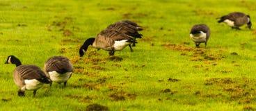 Άγριες χήνες στο λιβάδι που η χλόη, πράσινη juicy χλόη Στοκ εικόνες με δικαίωμα ελεύθερης χρήσης