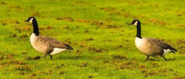 Άγριες χήνες στο λιβάδι που η χλόη, πράσινη juicy χλόη Στοκ Εικόνες