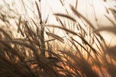 Άγριες χλόες στο χρυσό θερινό ηλιοβασίλεμα στοκ εικόνα