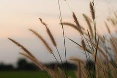 Άγριες χλόες φύσης στο χρυσό θερινό ηλιοβασίλεμα στοκ εικόνα