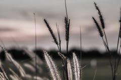 Άγριες χλόες φύσης στο χρυσό θερινό ηλιοβασίλεμα στοκ φωτογραφία με δικαίωμα ελεύθερης χρήσης