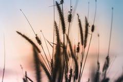Άγριες χλόες φύσης στο χρυσό θερινό ηλιοβασίλεμα στοκ εικόνες