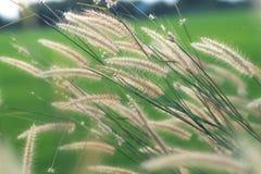 Άγριες χλόες φύσης στο χρυσό τρύγο summe στοκ εικόνες