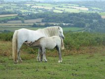 Άγριες foal και φοράδα στην πιό hergest κορυφογραμμή στοκ φωτογραφίες