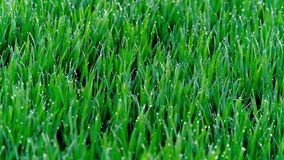 Άγριοι λαγοί σε έναν πράσινο τομέα απόθεμα βίντεο