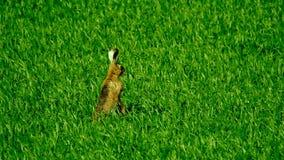 Άγριοι λαγοί στον τομέα φιλμ μικρού μήκους
