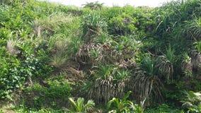 Άγριοι ανανάδες Στοκ Εικόνα