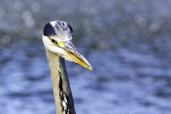 Άγριοι γκρίζοι ερωδιός/Ardea φαιάς ουσίας στο κυνήγι στον ποταμό Τάμεσης Στοκ φωτογραφία με δικαίωμα ελεύθερης χρήσης