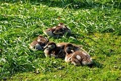 Άγριοι νεοσσοί χήνων Στοκ φωτογραφία με δικαίωμα ελεύθερης χρήσης