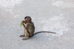 Άγριοι πίθηκοι στο νησί πιθήκων Στοκ Εικόνες