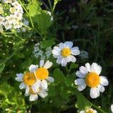 Άγριοι chamomile και δροσιά Στοκ Εικόνες