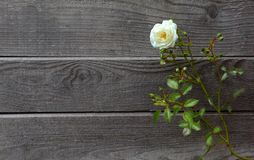 Άγριος άσπρος αυξήθηκε μπροστά από το ξεπερασμένο παλαιό και γκρίζο εκλεκτής ποιότητας ξύλο στοκ εικόνα με δικαίωμα ελεύθερης χρήσης