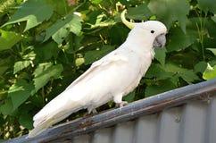 Άγριος άσπρος θείο-λοφιοφόρος παπαγάλος cockatoo Στοκ Φωτογραφίες