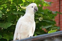 Άγριος άσπρος θείο-λοφιοφόρος παπαγάλος cockatoo Στοκ Εικόνα