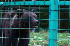 Άγριος αγαπητός στο κλουβί, κλείνει αυξημένος Στοκ Εικόνες