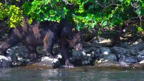 Άγριος αντέξτε της λίμνης Kurile, χερσόνησος Καμτσάτκα φιλμ μικρού μήκους
