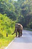 Άγριος αρσενικός ελέφαντας στο εθνικό πάρκο Ταϊλάνδη yai khao Στοκ Εικόνα
