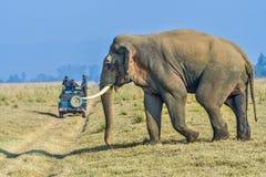 Άγριος ασιατικός αρσενικός ελέφαντας Στοκ Φωτογραφίες