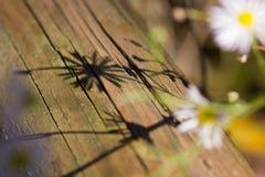 Άγριος αστέρας και η σκιά του Στοκ Εικόνα
