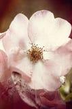 Άγριος αυξήθηκε άνθη Στοκ φωτογραφία με δικαίωμα ελεύθερης χρήσης