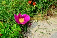 Άγριος αυξήθηκε αυξανόμενος σε έναν αμμόλοφο άμμου Στοκ φωτογραφία με δικαίωμα ελεύθερης χρήσης