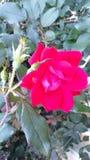 Άγριος αυξήθηκε ρόδινος όμορφος στενός επάνω χρωμάτων φύσης δονούμενος Στοκ Εικόνες