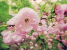 Άγριος αυξήθηκε - ρόδινα λουλούδια άνοιξη Στοκ φωτογραφία με δικαίωμα ελεύθερης χρήσης