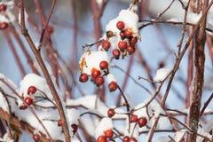 Άγριος αυξήθηκε στο χιόνι στη φύση Στοκ Εικόνες