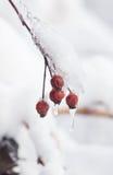 Άγριος αυξήθηκε στο χιόνι, χειμώνας Στοκ φωτογραφία με δικαίωμα ελεύθερης χρήσης